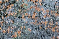 Black Oak Leaves in Fall After Snow Storm, Yosemite National Park, California