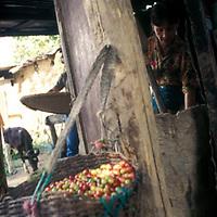 Mujer pilando cafe en cocina de casa rustica, Altamira de Caceres, Estado Barinas, Venezuela.
