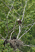 Idaho.  Kootenai National Wildlife Refuge  Bald Eagle (haliaeetus leucocephalus) protecting her two young eaglets in the nest