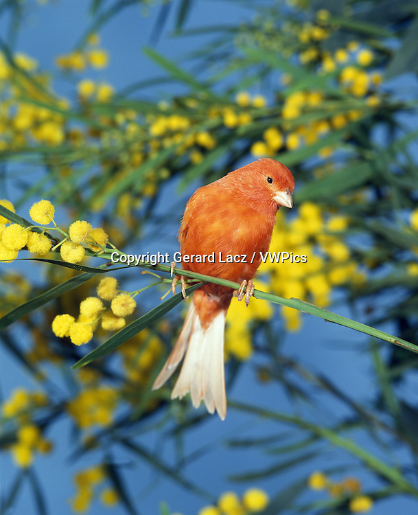 Red Canary, serinus canaria, Adult standing on Branch