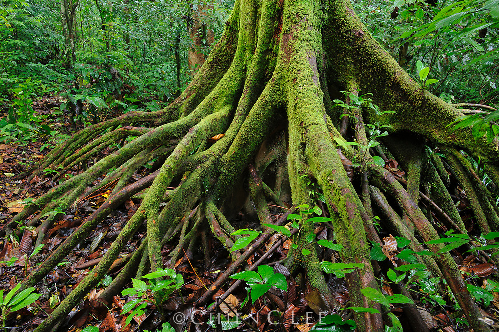Stilt roots are a common feature among tree species which inhabit Borneo's wet alluvial forests. Sarawak, Malaysia.