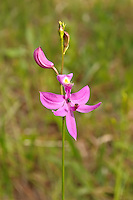 A grass-pink orchid blooming on the side of a country road in Goethe State Forest in Levy County, Florida. A tiny jumping spider waits in ambush!