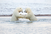 Two polar bears wrestle in water, Arctic National Wildlife Refuge, USA.