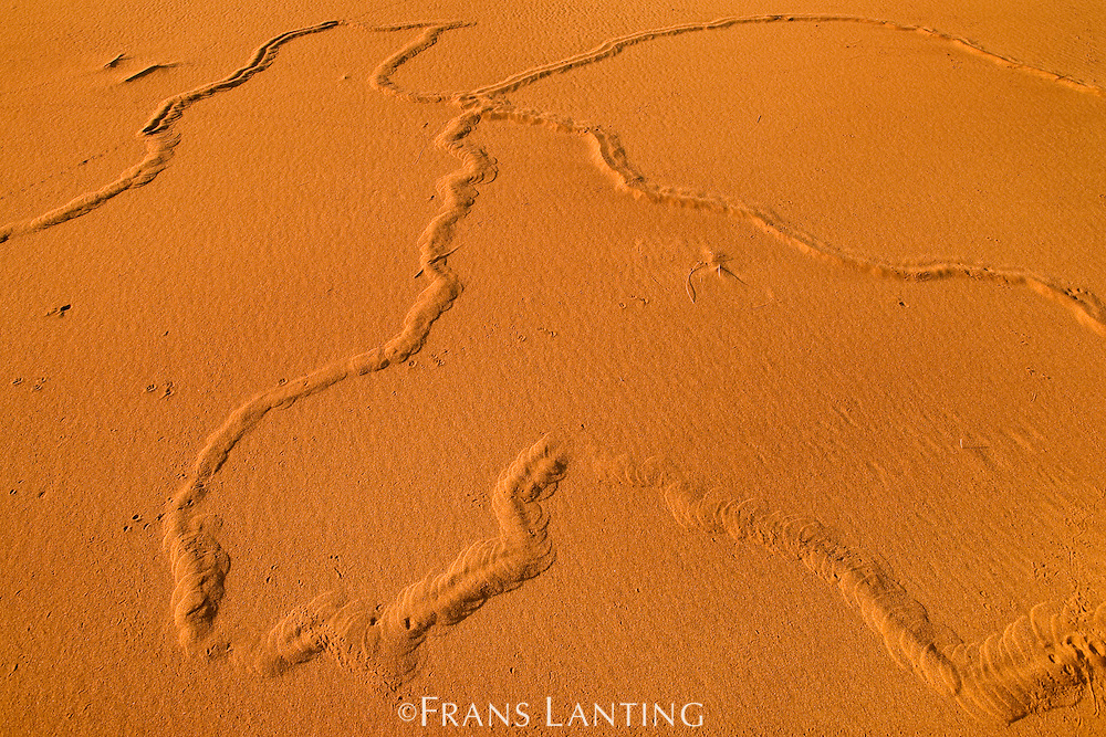Golden mole tracks, Eremitalpa granti, Namib-NaukluftNational Park, Namibia