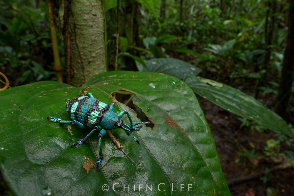 Like a glittering jewel of the rainforest, the almost unnatural colors of a Eupholus weevil probably serve as a warning to predators of its distastefulness. Considered by many to be among the most beautiful weevils in the world, most Eupholus are endemic to New Guinea.