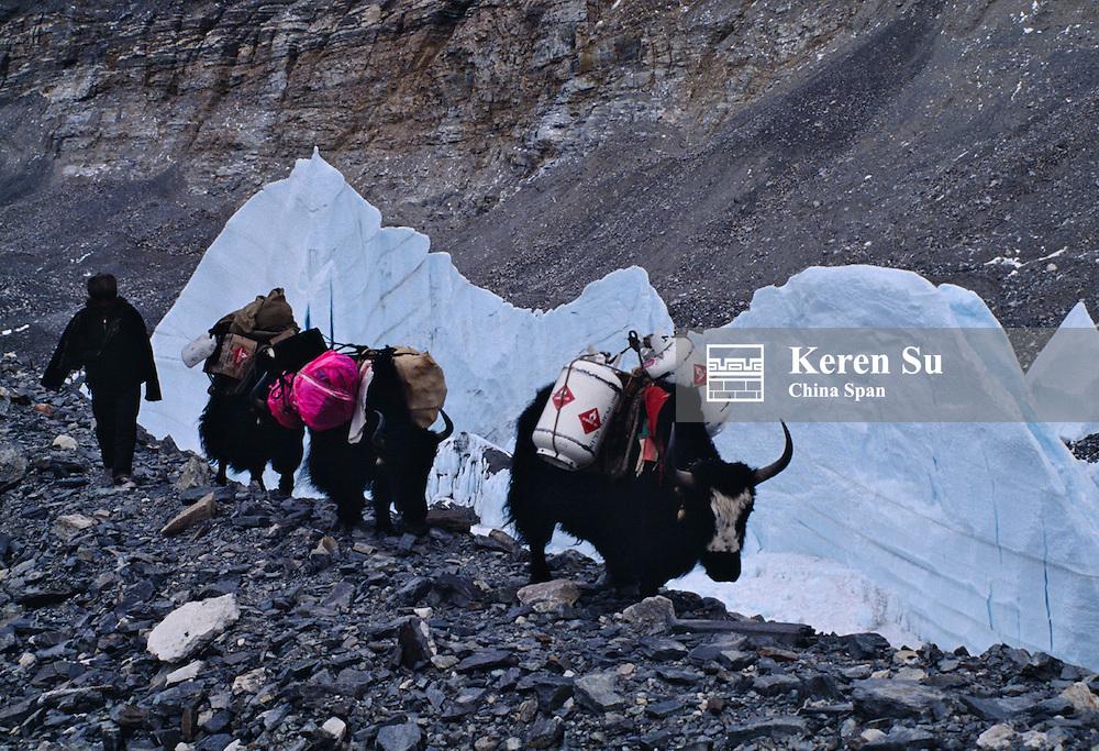 Yaks caravan by the glacier, Mt. Everest, Tibet