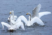 Group of Whooper Swan, Cygnus cygnus, flapping wings and arguing at Welney Wetland Centre, Norfolk, UK