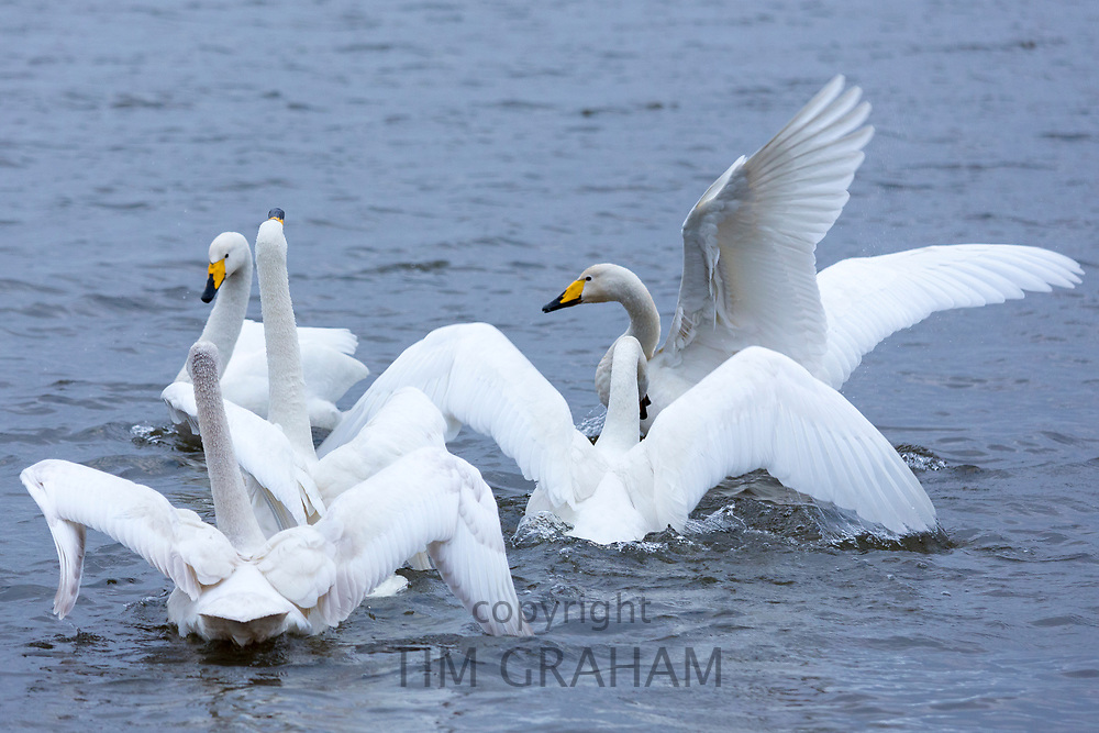 Group of Whooper Swan, Cygnus cygnus, flapping wings and arguing at Welney Wetland Centre, Norfolk, UK