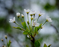 White Tree Fruit Tree Flowers. Image taken with a Fuji X-H1 camera and 80 mm f/2.8 macro lens