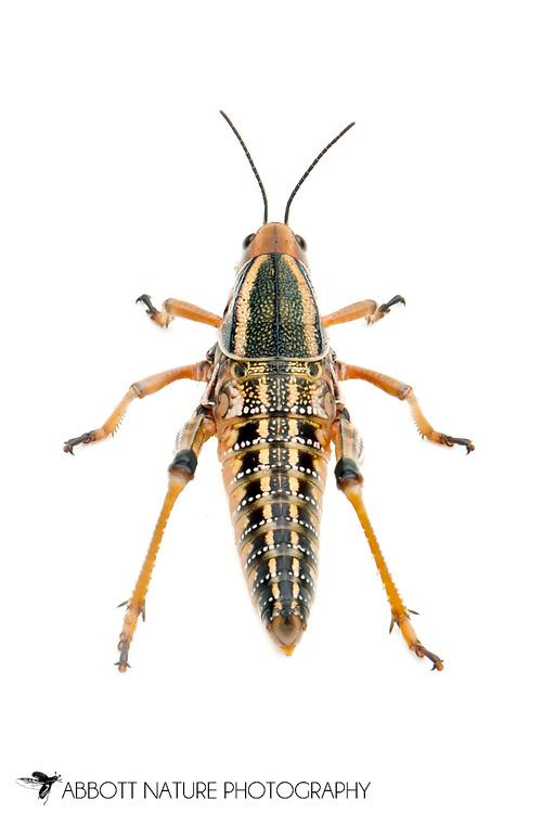 Plains Lubber Grasshopper (Brachystola magna)<br /> TEXAS: Blanco Co.<br />Pedernales Falls State Park<br />9-May-2012<br />J.C. Abbott &amp; K.K. Abbott