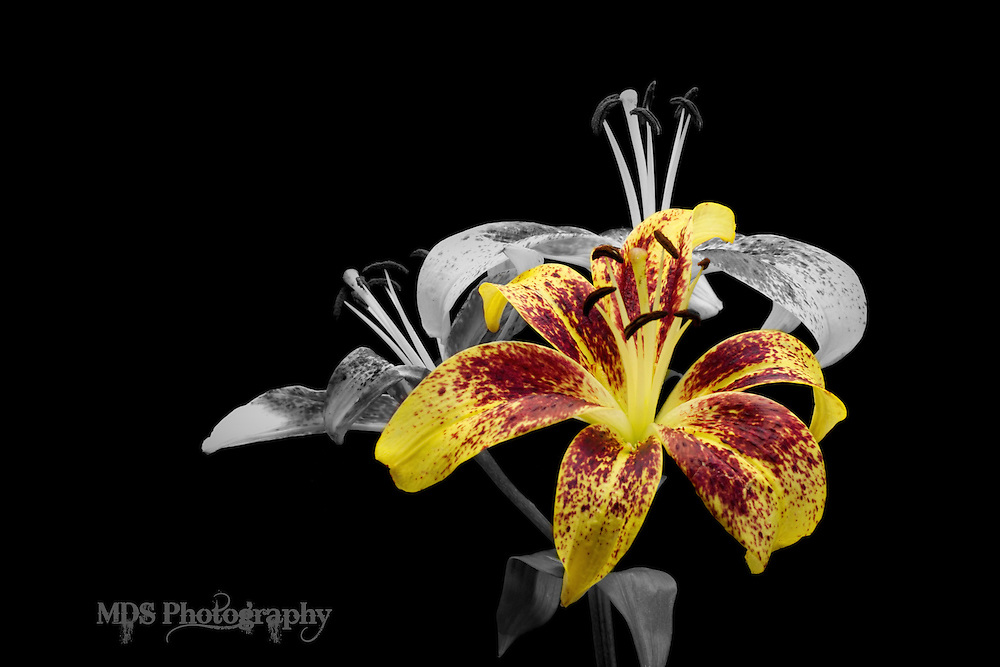 Yellow Lilly w/ purple speckles selective color