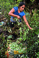 A woman picks coca during the last harvest in La Via Media, a remote coca growing area in the southern Colombian state of Nariño, on Saturday, June 23, 2007. All the coca in the immediate area is being pulled up as part of the manual eradication effort being conducted by the Colombian government in many parts of the country. Many coca farmers try to get in one last harvest before they have their crops destroyed. (Photo/Scott Dalton)