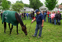 Kentucky Derby 142 winner Nyquist grazed by Fernel Serrano, had a handful of journalists and fans at his barn on the backside the morning after the race, Sunday, May 08, 2016 at Churchill Downs in Louisville.