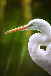 The Great Egret also known as Common Egret, Large Egret or Great White Heron, is a large, widely distributed egret. Distributed across most of the tropical and warmer temperate regions of the world, in southern Europe it is rather localized