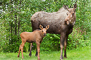 Less than a month old, a newborn moose calf and her mother forage in the relative safety of a residential backyard in Eagle River in Southcentral Alaska.  Spring. Afternoon.