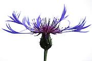 Cornflower, Centaurea montana