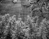 Maples at the base of a sheer cliff in the lower portion of the North Fork of the Virgin River canyon, © 1990 David A. Ponton