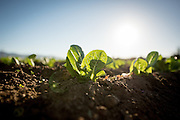 Organic romaine lettuce grows on one of the many incubator farms which is part of the ALBA program in Salinas, CA.