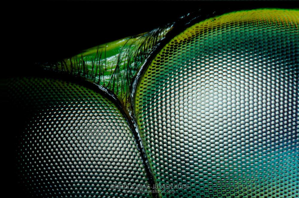 DEU, Deutschland: Facettenaugen einer Libelle (Odonata spec.), Augentyp: Facettenauge oder Komplexauge; jedes Facettenauge ist aus mehreren hundert bis mehreren tausend kleiner Einzelaugen zusammensetzt; in der Vergroesserung sieht dies einer Bienenwabe aehnlich; jede einzelne dieser Facetten bildet einen Ausschnitt aus der wahrgenommenen Umwelt ab; die einzelnen Ausschnitt-Bilder werden an das Gehirn des Insektes weitergeleitet und dort zu einem Gesamtbild zusammengesetzt, das im Prinzip einem Mosaik entspricht; Libellen besitzen sehr große Facettenaugen, die aus bis zu 28.000 einzelnen Ommatidien (Einzelaugen) bestehen; die einzelnen, sechseckigen Ommatidien haben einen Durchmesser von knapp 0,04 mm; diese riesigen Facettenaugen befaehigen Libellen, fast im 360° Winkel zu sehen, also auch das, was hinter ihnen geschieht; als sehr schnelle Flieger und Räuber, die ihre Beute im Flug fangen, besitzen Libellen ein ausgepraegtes Sehvermoegen; Kopfbreite ca. 9 mm, Freiburg, Baden-Wuerttemberg | DEU, Germany: compound eye of a dragonfly (Odonata spec.), type of eye: compound eye, every compound eye composite of hundreds to thousands small single eyes, looks like a honeycomb under magnification, every single facet projecting a part of the environment, the single detail pictures are conveyed to the insect brain and composed to a general view, corresponds a mosaic, dragonflies having very wide compound eyes, composed of until 28.000 single ommatidia, the single hexagonal ommatidia having a diameter of 0,04 mm, these big compound eyes enabling dragonflies to see almost 360 degree, also backward, as very fast flyers and hunters, who catching there prey in fly, dragonflies having a very good sight, head size circa 9 mm, Freiburg, Baden-Wurttemberg
