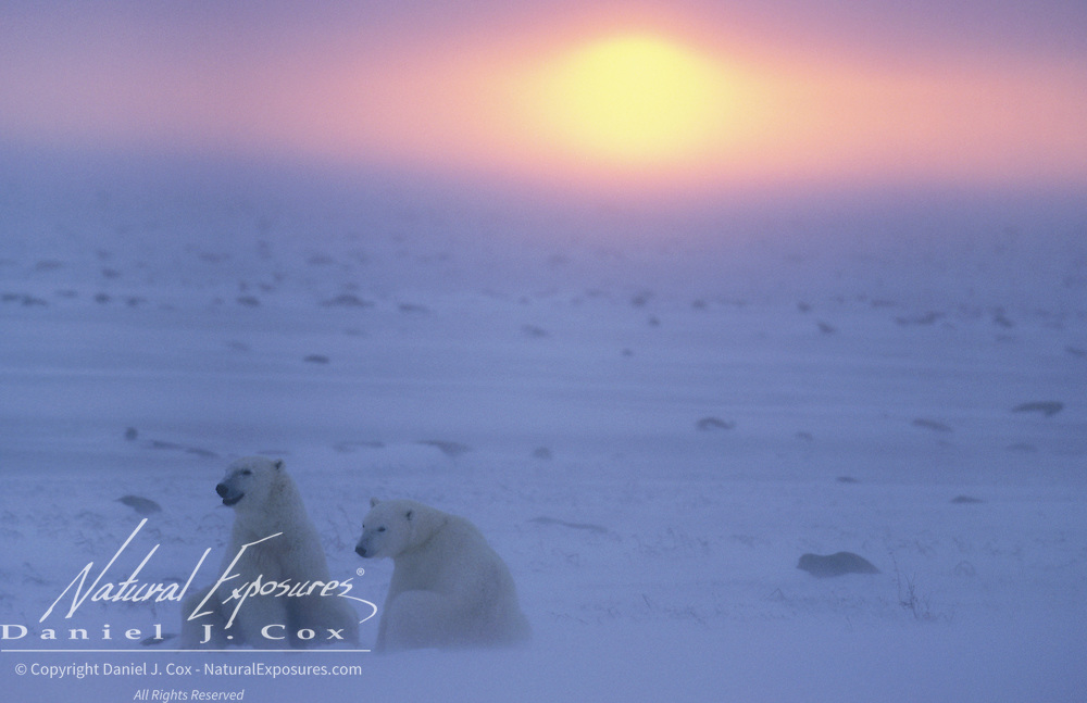 Polar bear (Ursus maritimus) pair on frozen Hudson Bay during sunset. Canada