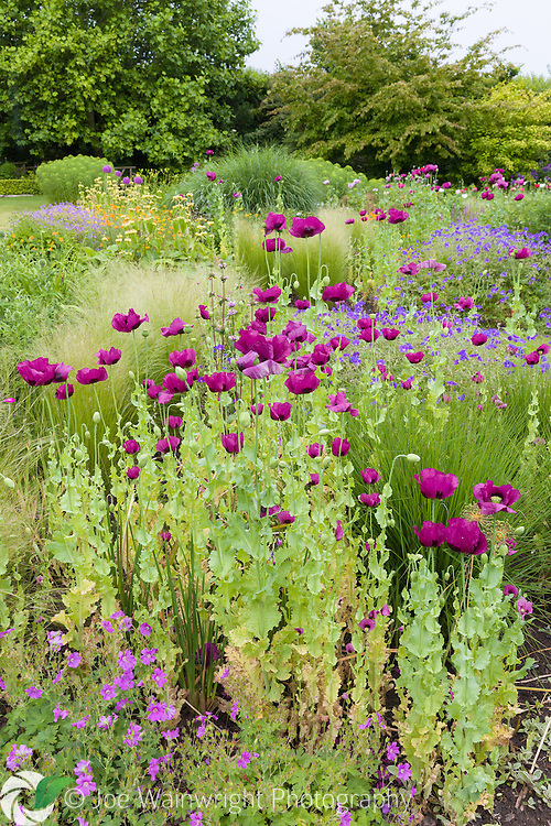 Poppies and Geraniums in a herbaceous border at Bluebell Cottage Gardens, Cheshire - photographed in July