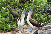 "A pair of male and female Blue-footed Boobies (Sula nebouxii) do a sky pointing mating dance at Suaraz Point, a wet landing location on Española (Hood) Island, part of the Galápagos archipelago, a province of Ecuador, located 972 km west of the continent of South America. The Blue-footed Booby is a bird in the Sulidae family which comprises ten species of long-winged seabirds. The name ""booby"" comes from the Spanish term bobo, which means ""stupid"" or ""fool/clown,"" which describes its clumsy nature on land. Like other seabirds, they can be very tame. The natural breeding habitat of the Blue-footed Booby is tropical and subtropical islands off the Pacific Ocean. In 1959, Ecuador declared 97% of the land area of the Galápagos Islands to be Galápagos National Park, which UNESCO registered as a World Heritage Site in 1978. Ecuador created the Galápagos Marine Reserve in 1998, which UNESCO appended in 2001. Published in ""Light Travel: Photography on the Go"" book by Tom Dempsey 2009, 2010."