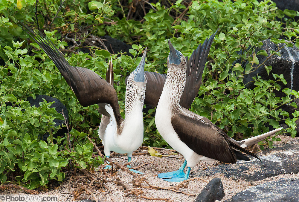 """A pair of male and female Blue-footed Boobies (Sula nebouxii) do a sky pointing mating dance at Suaraz Point, a wet landing location on Española (Hood) Island, part of the Galápagos archipelago, a province of Ecuador, located 972 km west of the continent of South America. The Blue-footed Booby is a bird in the Sulidae family which comprises ten species of long-winged seabirds. The name """"booby"""" comes from the Spanish term bobo, which means """"stupid"""" or """"fool/clown,"""" which describes its clumsy nature on land. Like other seabirds, they can be very tame. The natural breeding habitat of the Blue-footed Booby is tropical and subtropical islands off the Pacific Ocean. In 1959, Ecuador declared 97% of the land area of the Galápagos Islands to be Galápagos National Park, which UNESCO registered as a World Heritage Site in 1978. Ecuador created the Galápagos Marine Reserve in 1998, which UNESCO appended in 2001. Published in """"Light Travel: Photography on the Go"""" book by Tom Dempsey 2009, 2010."""