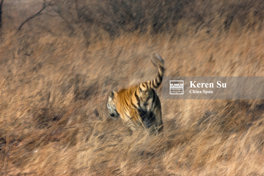 Siberian Tiger in the grass, Tiger Reserve, Heilongjiang, China
