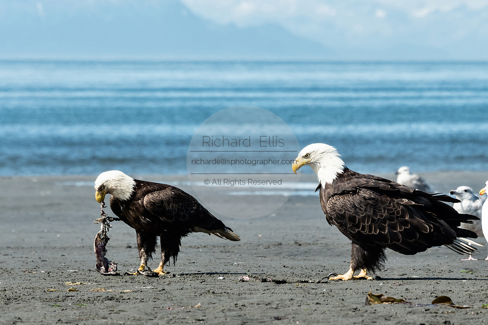 A larger dominant bald eagle watches his smaller rival eat fish scraps on the beach at Anchor Point, Alaska.