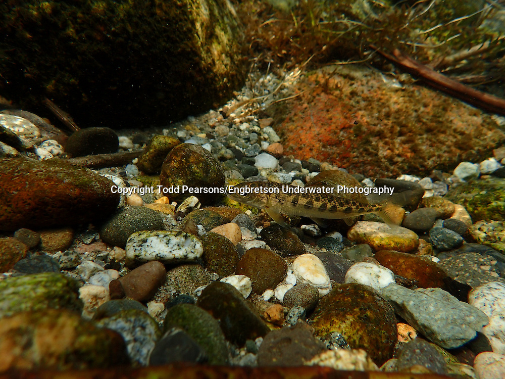 Mountain Whitefish (juvenile)<br /> <br /> Todd Pearsons/Engbretson Underwater Photography