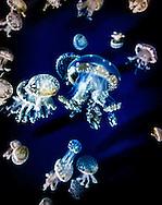 Medusozoa (Jellyfish)