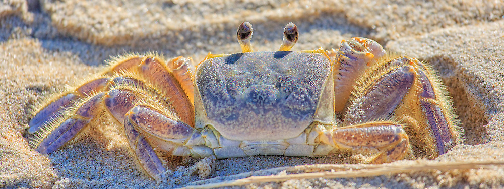 Picture of Outer Banks ghost crab.