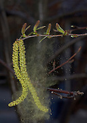 Birch wind pollinated; Betula sp.; pollen blowing from male catkin; female flowers above stem; PA, Philadelphia