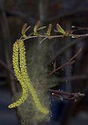 Birch wind pollinated; Betula sp.; pollen blowing from male catkin; female flowers above stem; PA, Philadelphia