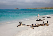 Visitor walking among sea lions on Espanola Island beach, Galapagos