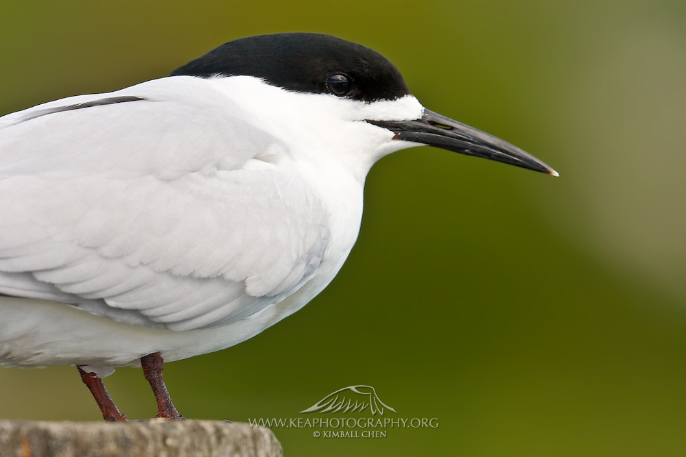 White-fronted Tern, Riverton, New Zealand