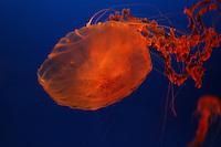 Barnnmanet i akvariet i Osaka, jellyfish in the aquarium in Osaka
