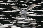 Ring-billed gull in Lake Coeur d' Alene during the Kokanee spawn in December. Kootenai County, North Idaho.