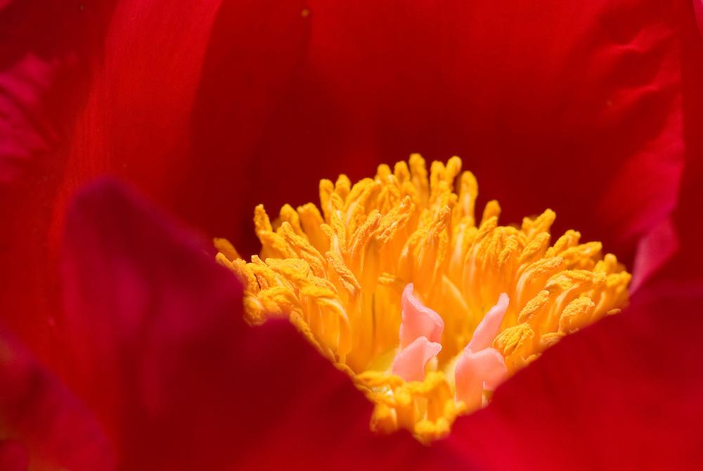 Red Peonies Flower Macro