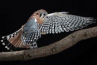 Kestrel (Falco sparvierus), Captive
