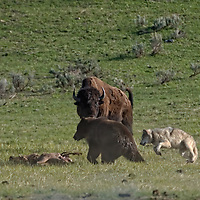 Wolf bitting grizzly bear,s butte sequence 1 of 4