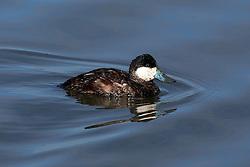 Ruddy Duck, Oxyura jamaicensis, Baylands Nature Preserve, Palo Alto, California, United States of America