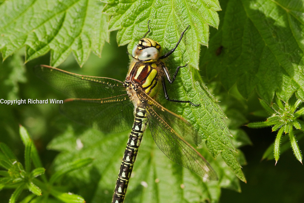 Female hairy dragonfly, perched on a leaf. The female has yellow markings instead of the blue and green of the male.