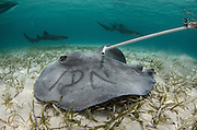 Caribbean Whiptail Ray (Himantura schmardae) monitoring<br /> Shark Ray Alley<br /> Hol Chan Marine Reserve<br /> near Ambergris Caye and Caye Caulker<br /> Belize<br /> Central America