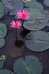 Water Lily, magenta #15 vert
