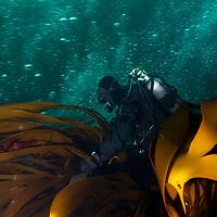 Annika Blomberg<br /> Atlantic marine life, Saltstraumen, Bod&ouml;, Norway<br /> Model release by photographer