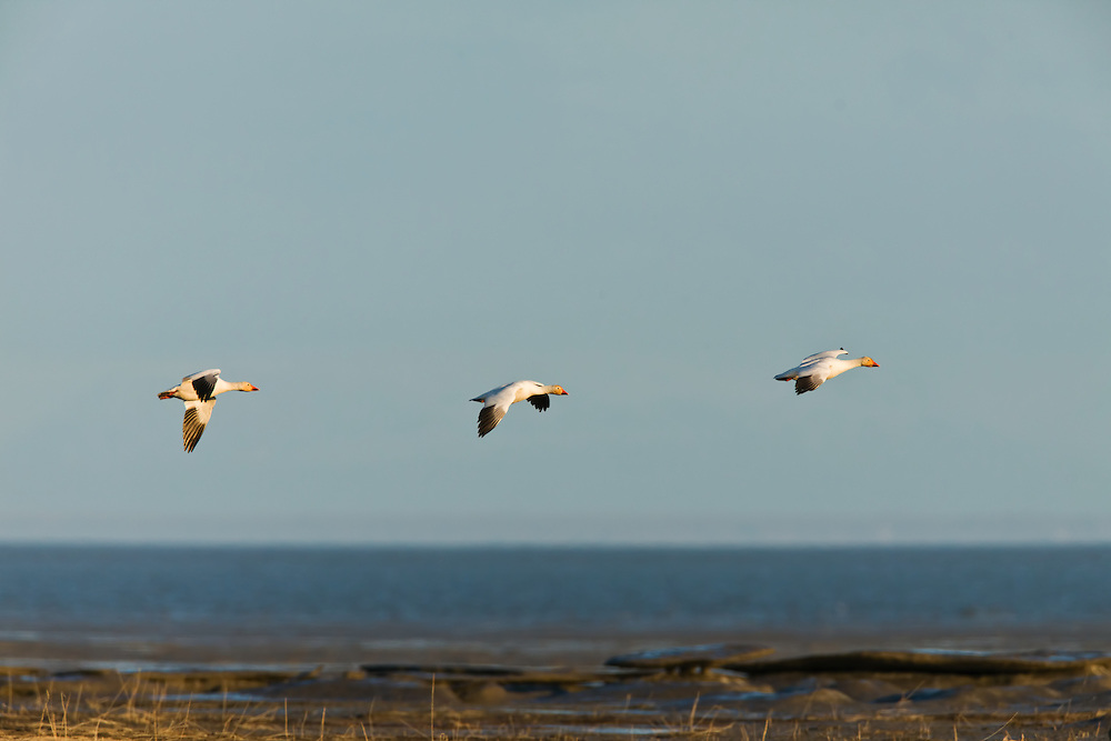 Snow Geese (Chen caerulescens) getting ready to land to forage on Susitna Flats State Game Refuge near Beluga  in Southcentral Alaska during the spring migration. Evening.