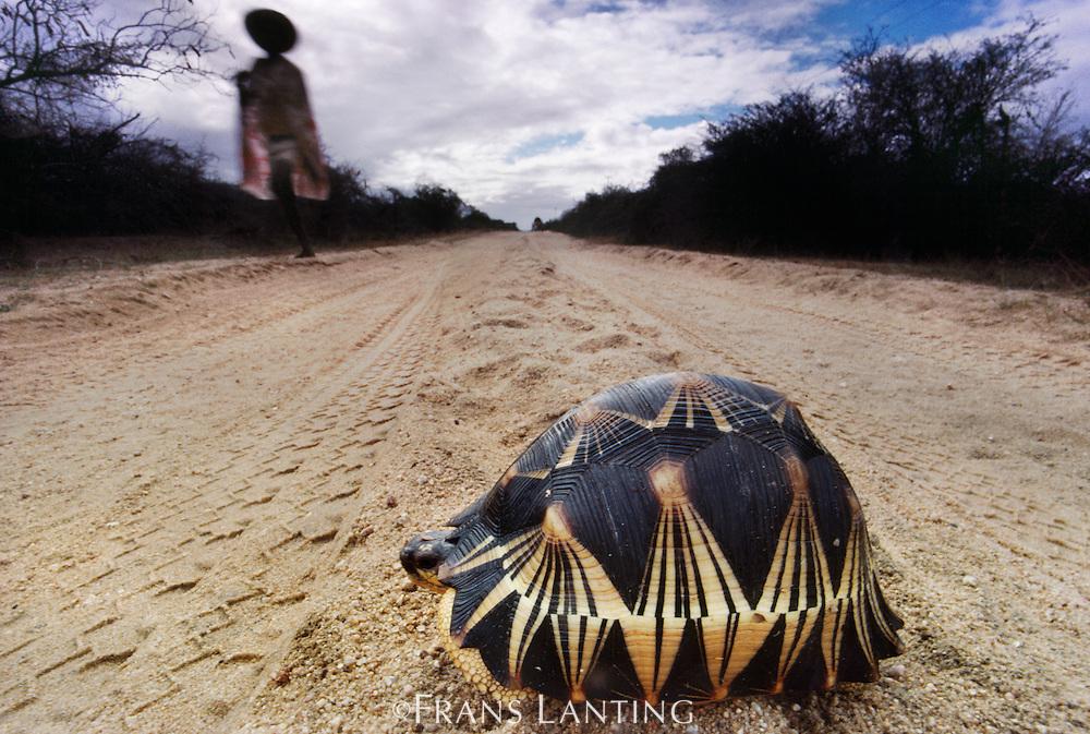 Radiated tortoise in dirt road, Geochelone radiata, Southern Madagascar