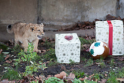 © Licensed to London News Pictures. 15/12/2011. LONDON, UK. One of London Zoo's three month old lion cubs, Indi or Heidi, investigate Christmas presents left in their enclosure by keepers. The lions London of London Zoo get into the Christmas Spirit after keepers delivered some early presents to their enclosure. Photo credit: Matt Cetti-Roberts/LNP