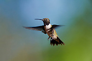 A hummingbird in flight